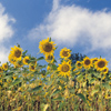 sunflowers - Encourage Love - The Love Foundation
